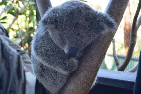 オーストラリアン レプタイル パーク コアラ
